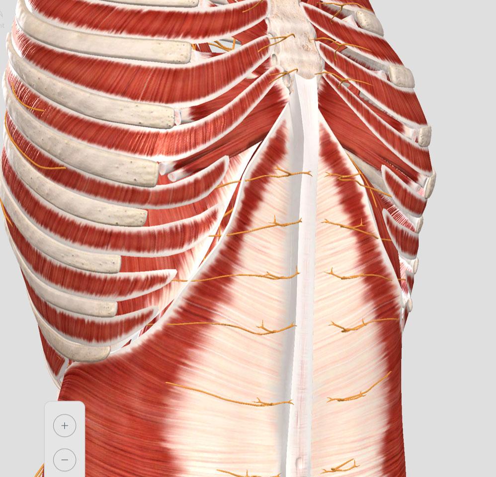 inervación de la pared abdominal superior