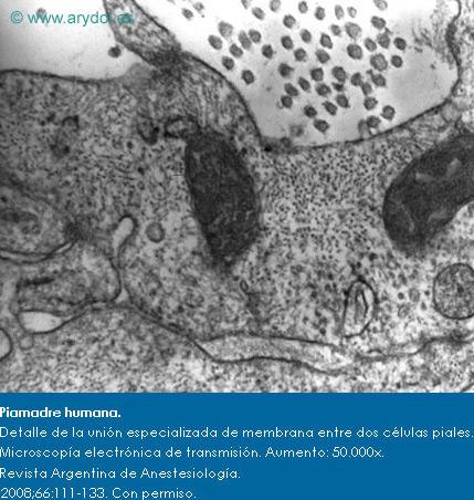 Piamadre humana. Detalle de la unión especializada de membrana entre dos células piales. Microscopía electrónica de transmisión. Aumento: 50.000x. Revista Argentina de Anestesiología. 2008;66:111-133. Con permiso.